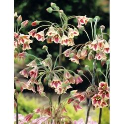 Allium siculum - 5 bulbs