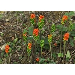 Arum Italicum - 5 bulbs