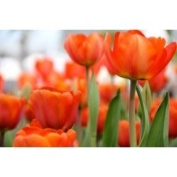 Tulipa Orange - Tulip Orange - 5 bulbs