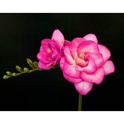 Freesia Double Pink - 10 lampu