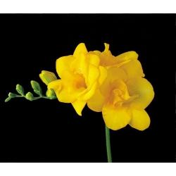 Freesia - Double Yellow - paquete de 10 piezas