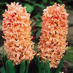 Hyacinthus Gipsy Queen - Hyacinth Gipsy Queen - 3 bulbs
