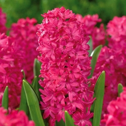Hyacinthus Jan Bos - Hyacinth Jan Bos - 3 bulbs