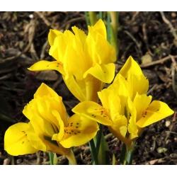 Ирис danfordiae - пакет из 10 штук - Iris danfordiae