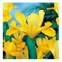 Ирис (Iris × hollandica) - Golden Harvest - пакет из 10 штук