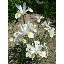 Ирис (Iris × hollandica) - White Excelsior - пакет из 10 штук