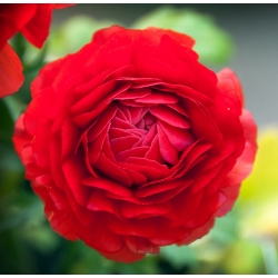 Gundegas - Sarkans - 10 gab. Iepakojums - Ranunculus