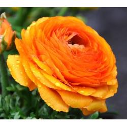 Gundegas - Oranžs - 10 gab. Iepakojums - Ranunculus