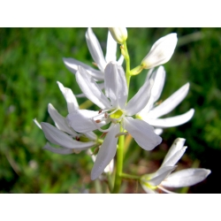 Camassia alba - 2 bulbs