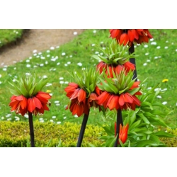 Рябчик императорский - красный -  Fritillaria imperialis