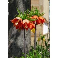 Рябчик императорский - оранжевый - Fritillaria imperialis
