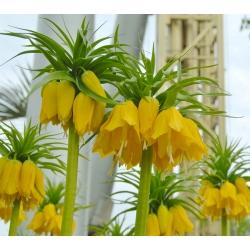 Рябчик императорский - желтый - Fritillaria imperialis
