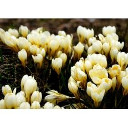 Crocus Cream Beauty - 10 bulbs