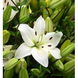 Lilium, Lily Asiatic White