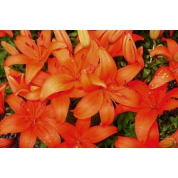 Lilium, Lily Asiatic Orange - bebawang / umbi / akar - Lilium Asiatic White