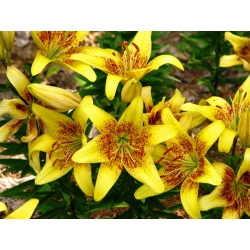 زنبق ، ليلي لاتفيا - بصلة / درنة / جذر - Lilium Asiatic Latvia