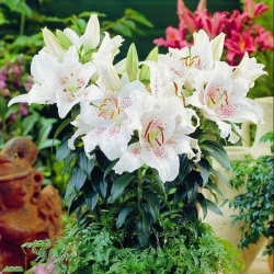Lilium, Lily Muscadet - cibuľa / hľuza / koreň - Lilium Muscadet
