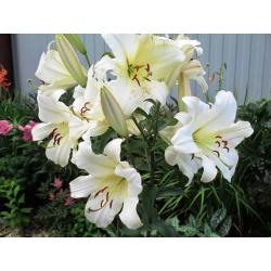 Tree Lily Lilium Pretty Women - žiarovka / hľuza / koreň