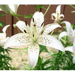 Lilium, Lily White Tiger - žiarovka / hľuza / koreň - Lilium White Tiger
