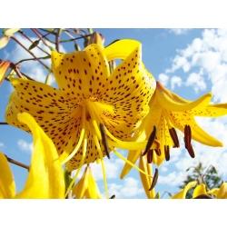 Lilium, Lily Yellow Tiger - žiarovka / hľuza / koreň - Lilium Yellow Tiger