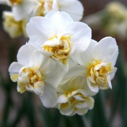 Narcissus - Cheerfulness - paquete de 5 piezas