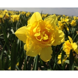 Nárcisz - Dick Wilden - csomag 5 darab - Narcissus
