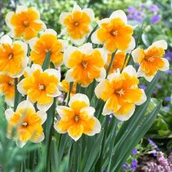 Oranžéria narcisov - Oranžéria narcisov - 5 kvetinové cibule - Narcissus