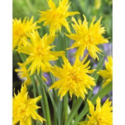 Narcissus Rip Van Winkle - Daffodil Rip Van Winkle - 5 bulbs