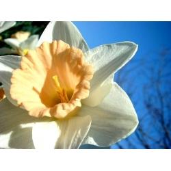 Narcissus - Salome - paquete de 5 piezas