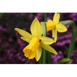 Narcissus Head-to-Head - Narcis Head-to-Head - 5 kvetinové cibule