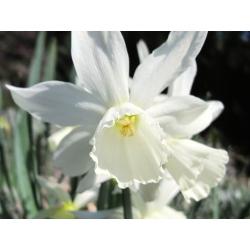Narcissus Thalia - Daffodil Thalia - 5 bebawang