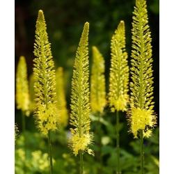 Eremurus, Foxtail Lilies Bungei