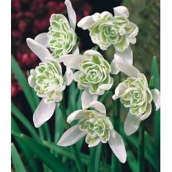 Galanthus nivalis - Flore Pleno - pakket van 3 stuks