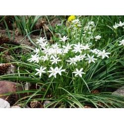 Ornithogalum umbellatum - Ngôi sao của Bethlehem umbellatum - 10 củ