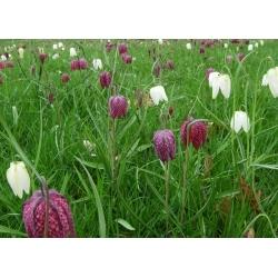 Almindelig vibeæg - pakke med 5 stk - Fritillaria Meleargis