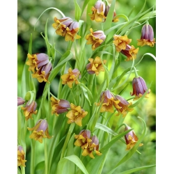 REBAS-PÜVILILL -  Uva Vulpis - pakend 5 tk -  Fritillaria