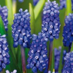 Muscari Dark Eyes - Grape Hyacinth Dark Eyes - 5 bulbs