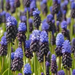 Muscari latifolium - Grape Hyacinth latifolium - 10 bulbs