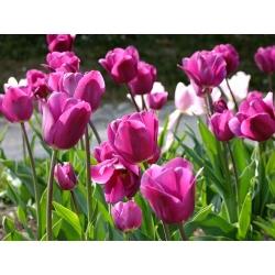 Pink tulip – Rose – large pack! – 50 pcs