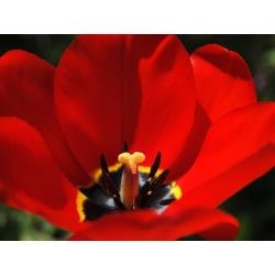 Tulipa Apeldorn - Tulip Apeldorn - 5 bulbs