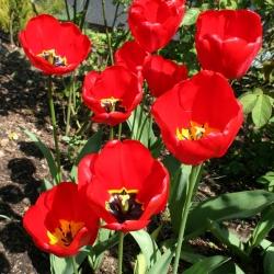Тюльпан Apeldorn - пакет из 5 штук - Tulipa Apeldorn