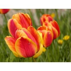 Tulipa Apeldoorn's Elite - Tulip Apeldoorn's Elite - 5 bulbs