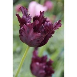 Тюльпан Black Parrot - пакет из 5 штук - Tulipa Black Parrot