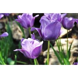 Tulipa Blue Aimable - paquete de 5 piezas