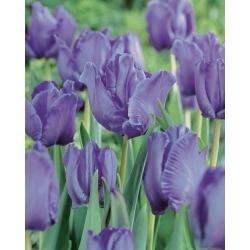 Тюльпан Blue Parrot - пакет из 5 штук - Tulipa Blue Parrot