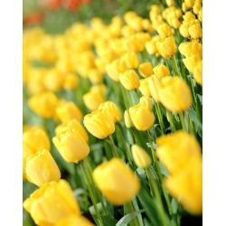 Tulipa Golden Apeldoorn - Tulip Golden Apeldoorn - 5 bulbs