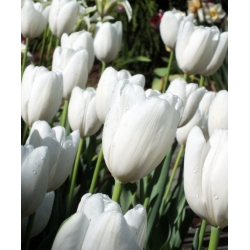 Тюльпан Hakuun - пакет из 5 штук - Tulipa Hakuun