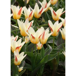 Tulipa Johann Strauss - paquete de 5 piezas