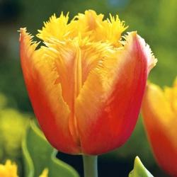 Тюльпан Lambada - пакет из 5 штук - Tulipa Lambada