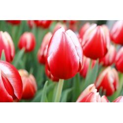 Тюльпан Leen van der Mark - пакет из 5 штук - Tulipa Leen van der Mark